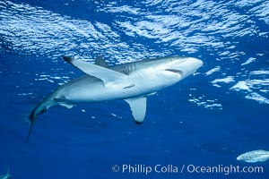 Silky Shark at San Benedicto Islands, Revillagigedos, Mexico. Socorro Island (Islas Revillagigedos), Baja California, Mexico, Carcharhinus falciformis, natural history stock photograph, photo id 33328