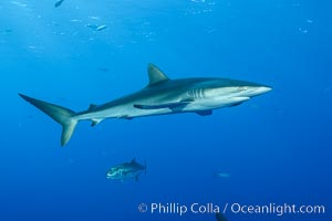 Silky Shark at San Benedicto Islands, Revillagigedos, Mexico. Socorro Island (Islas Revillagigedos), Baja California, Mexico, Carcharhinus falciformis, natural history stock photograph, photo id 33334