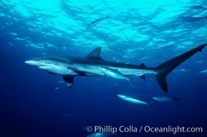 Silky shark. Cocos Island, Costa Rica, Carcharhinus falciformis, natural history stock photograph, photo id 01989