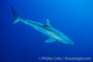 Silky shark, Socorro Island (Revilligigedos), Carcharhinus falciformis