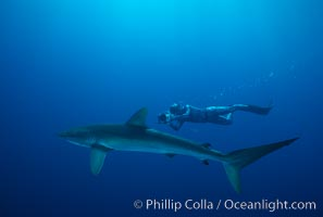 Silky shark and freediving videographer Harrison Skip Stubbs,Socorro Island (Revilligigedos), Carcharhinus falciformis, Socorro Island (Islas Revillagigedos)
