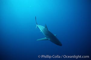 Silky shark, Carcharhinus falciformis, Darwin Island