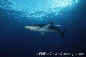 Silky shark trailing longline and hook, Carcharhinus falciformis, Cocos Island
