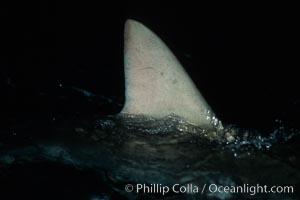 Silky shark, dorsal fin breaking surface, Carcharhinus falciformis, Cocos Island