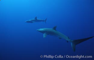 Silky shark, Socorro Island, Revilligigedos, Carcharhinus falciformis