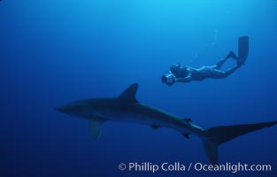 Silky shark and freediving videographer, Socorro Island, Revilligigedos, Carcharhinus falciformis