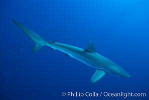 Silky shark, Carcharhinus falciformis, Socorro Island (Islas Revillagigedos)
