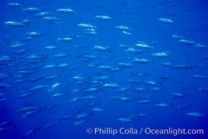 Skipjack tuna school at Roca Partida, Revilligigedos, Katsuwonus pelamis