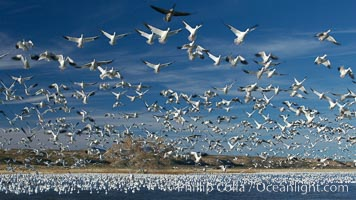 Snow geese blast off.  After resting and preening on water, snow geese are startled by a coyote, hawk or just wind and take off en masse by the thousands.  As many as 50,000 snow geese are found at Bosque del Apache NWR at times, stopping at the refuge during their winter migration along the Rio Grande River, Chen caerulescens, Bosque del Apache National Wildlife Refuge, Socorro, New Mexico