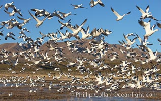 Snow geese blast off.  After resting and preening on water, snow geese are started by a coyote, hawk or just wind and take off en masse by the thousands.  As many as 50,000 snow geese are found at Bosque del Apache NWR at times, stopping at the refuge during their winter migration along the Rio Grande River, Chen caerulescens, Bosque del Apache National Wildlife Refuge, Socorro, New Mexico
