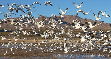 Snow geese blast off.  After resting and preening on water, snow geese are started by a coyote, hawk or just wind and take off en masse by the thousands.  As many as 50,000 snow geese are found at Bosque del Apache NWR at times, stopping at the refuge during their winter migration along the Rio Grande River. Bosque del Apache National Wildlife Refuge, Socorro, New Mexico, USA, Chen caerulescens, natural history stock photograph, photo id 21862