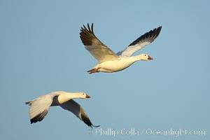 Snow geese in flight, Chen caerulescens, Bosque del Apache National Wildlife Refuge, Socorro, New Mexico