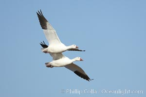 Snow geese in flight, Chen caerulescens, Bosque del Apache National Wildlife Refuge, Socorro, New Mexico