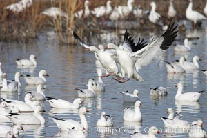 Snow geese landing on water, Chen caerulescens, Bosque del Apache National Wildlife Refuge