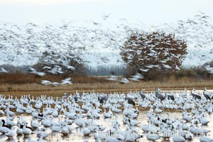 Snow geese gather in massive flocks over water, taking off and landing in synchrony, Chen caerulescens, Bosque del Apache National Wildlife Refuge