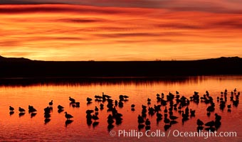 Snow geese rest on a still pond in rich orange and yellow sunrise light.  These geese have spent their night&#39;s rest on the main empoundment and will leave around sunrise to feed in nearby corn fields, Chen caerulescens, Bosque del Apache National Wildlife Refuge, Socorro, New Mexico