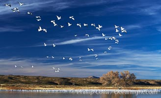 "Snow geese, and one of the ""crane pools"" in the northern part of Bosque del Apache NWR, Chen caerulescens, Bosque del Apache National Wildlife Refuge, Socorro, New Mexico"