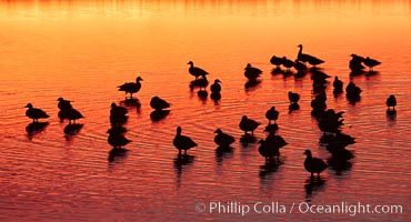 Snow geese rest on a still pond in rich orange and yellow sunrise light.  These geese have spent their night's rest on the main empoundment and will leave around sunrise to feed in nearby corn fields, Chen caerulescens, Bosque del Apache National Wildlife Refuge, Socorro, New Mexico