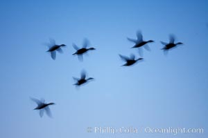 Snow geese, flying in syncrony through color twilight skies, wings blurred due to long time exposure, Chen caerulescens, Bosque del Apache National Wildlife Refuge, Socorro, New Mexico