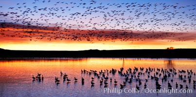 "Snow geese at dawn.  Snow geese often ""blast off"" just before or after dawn, leaving the ponds where they rest for the night to forage elsewhere during the day, Chen caerulescens, Bosque del Apache National Wildlife Refuge, Socorro, New Mexico"