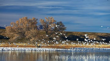 "Snow geese and one of the ""crane pools"" in the northern part of Bosque del Apache NWR, Chen caerulescens, Bosque del Apache National Wildlife Refuge, Socorro, New Mexico"