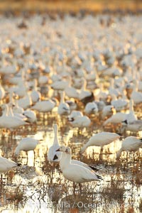 Snow geese resting, on a still pond in early morning light, in groups of several thousands. Bosque del Apache National Wildlife Refuge, Socorro, New Mexico, USA, Chen caerulescens, natural history stock photograph, photo id 21808