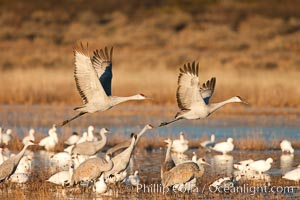 Snow geese and sandhill cranes, Chen caerulescens, Grus canadensis, Bosque Del Apache, Socorro, New Mexico