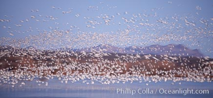 "Snow geese at sunrise.  Thousands of wintering snow geese take to the sky in predawn light in Bosque del Apache's famous ""blast off"".  The flock can be as large as 20,000 geese or more.  Long time exposure creates blurring among the geese, Chen caerulescens, Bosque del Apache National Wildlife Refuge, Socorro, New Mexico"