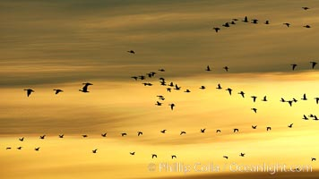 Skeins of snow geese in flight, golden sunrise light, Chen caerulescens, Bosque del Apache National Wildlife Refuge, Socorro, New Mexico