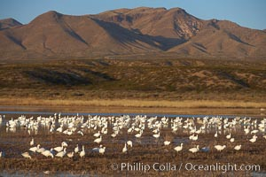 Snow geese gather to rest and preen, Chen caerulescens, Bosque del Apache National Wildlife Refuge, Socorro, New Mexico