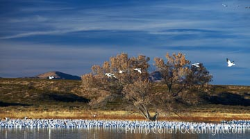 """Snow geese and one of the """"crane pools"""" in the northern part of Bosque del Apache NWR, Chen caerulescens, Bosque del Apache National Wildlife Refuge, Socorro, New Mexico"""