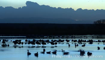 Snow geese, resting on the calm water of the main empoundment at Bosque del Apache NWR in predawn light, Chen caerulescens, Bosque del Apache National Wildlife Refuge, Socorro, New Mexico
