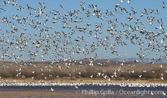 Snow geese lift off by the thousands, taking flight over Bosque del Apache NWR, Chen caerulescens, Bosque del Apache National Wildlife Refuge, Socorro, New Mexico