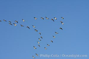 Skeins of snow geese fly in classic chevron formation, Chen caerulescens, Bosque del Apache National Wildlife Refuge, Socorro, New Mexico