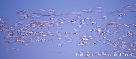 Snow geese flying in a vast skein.  Thousands of snow geese fly in predawn light, blurred due to time exposure, Chen caerulescens, Bosque del Apache National Wildlife Refuge, Socorro, New Mexico