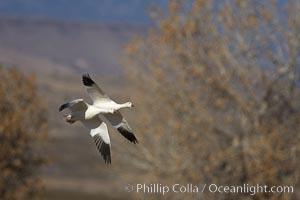Snow goose in flight, Chen caerulescens, Bosque del Apache National Wildlife Refuge, Socorro, New Mexico