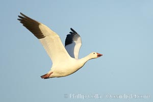 Snow goose in flight.  Tens of thousands of snow geese stop in Bosque del Apache NWR each winter during their migration, Chen caerulescens, Bosque del Apache National Wildlife Refuge, Socorro, New Mexico