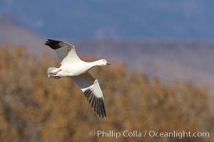 Snow goose in flight, Chen caerulescens, Bosque del Apache National Wildlife Refuge, Socorro, New Mexico