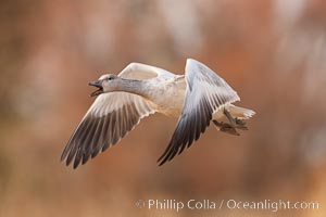 Snow goose in flight. Bosque Del Apache, Socorro, New Mexico, USA, Chen caerulescens, natural history stock photograph, photo id 26203