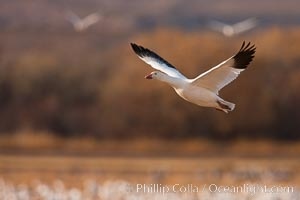 Snow goose in flight. Bosque Del Apache, Socorro, New Mexico, USA, Chen caerulescens, natural history stock photograph, photo id 26207