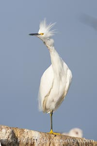 Snowy egret.  The snowy egret can be found in marshes, swamps, shorelines, mudflats and ponds.  The snowy egret eats shrimp, minnows and other small fish,  crustaceans and frogs.  It is found on all coasts of North America and, in winter, into South America, Egretta thula, La Jolla, California