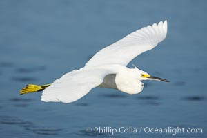 Snowy egret wading, foraging for small fish in shallow water, Egretta thula, San Diego Bay National Wildlife Refuge