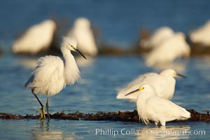 Snowy egrets foraging in drifting patch of kelp, Egretta thula, San Diego River