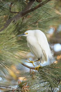 Snowy egret in pine tree, Egretta thula, Oceanside Harbor