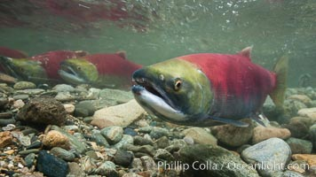 Adams River sockeye salmon.  A female sockeye salmon swims upstream in the Adams River to spawn, having traveled hundreds of miles upstream from the ocean, Oncorhynchus nerka, Roderick Haig-Brown Provincial Park, British Columbia, Canada