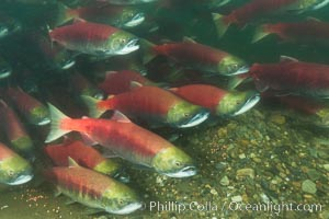 A school of sockeye salmon, swimming up the Adams River to spawn, where they will lay eggs and die, Oncorhynchus nerka, Roderick Haig-Brown Provincial Park, British Columbia, Canada