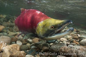 A male sockeye salmon, showing injuries sustained as it migrated hundreds of miles from the ocean up the Fraser River, swims upstream in the Adams River to reach the place where it will fertilize eggs laid by a female in the rocks.  It will die so after spawning, Oncorhynchus nerka, Roderick Haig-Brown Provincial Park, British Columbia, Canada