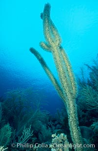 Soft coral / sea fan, Roatan