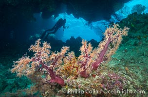Soft Corals and Diver in Cavern, Fiji, Dendronephthya, Vatu I Ra Passage, Bligh Waters, Viti Levu  Island