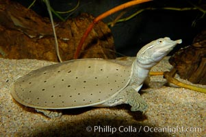 Softshell turtle, Apalone spinifera